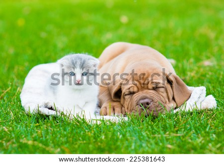 small kitten near sleeping Bordeaux puppy dog - stock photo