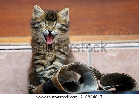 small kitten yawning - stock photo