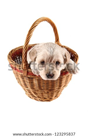 small labrador dog in the basket - stock photo