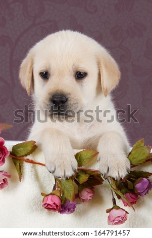 Small labrador puppy with flowers in blanket on pink pattern background studio - stock photo