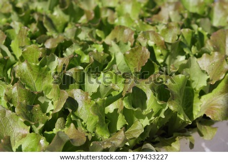 Small lettuces growing in a greenhouse - stock photo