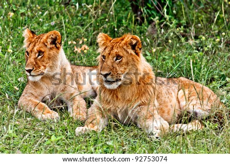 Small Lion and Lioness in the Masai Mara park - stock photo