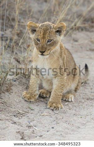 Small lion cub walking along a dirt road with grass - stock photo