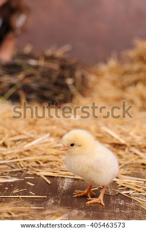 Small little yellow chick standing on hay, jack in the back plane - stock photo
