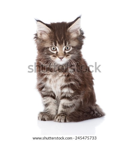 small maine coon cat looking at camera. isolated on white background - stock photo