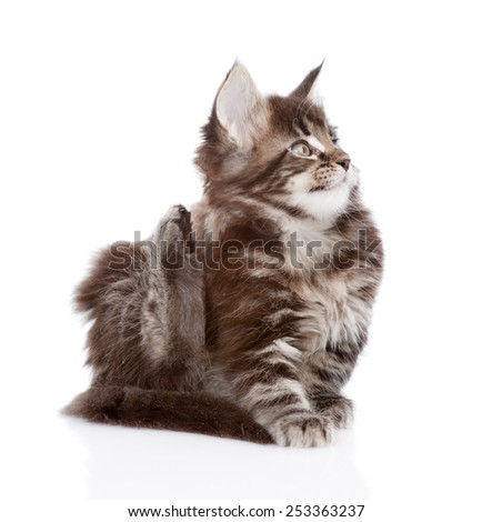 small maine coon cat scratching isolated on white background - stock photo