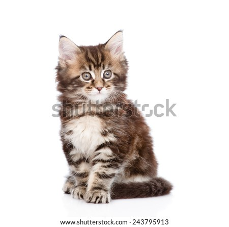small maine coon cat sitting in front. isolated on white background - stock photo