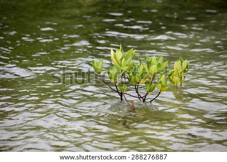 Small mangrove tree in water - stock photo