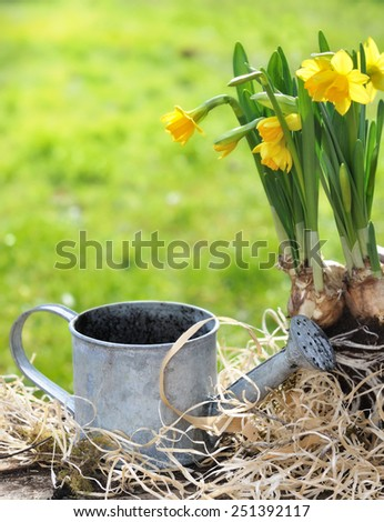 small metal  watering can  with daffodils in bloom on mulching - stock photo
