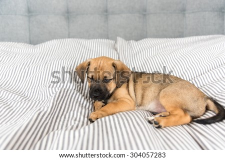 Small Mixed Breed Brown and Black Puppy Sleeping on Human Bed - stock photo