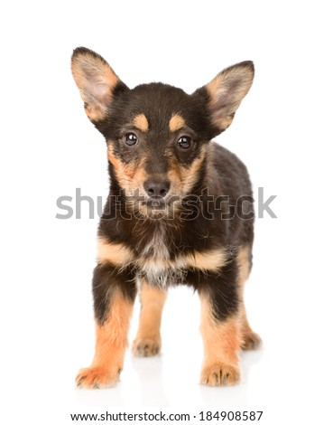 small mixed breed puppy dog standing in front. isolated on white background - stock photo