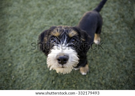 Small Mixed Breed puppy looking up at camera begging - stock photo