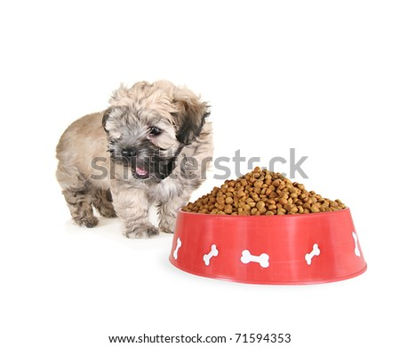 small mixed breed puppy sitting in front of a food bowl - stock photo