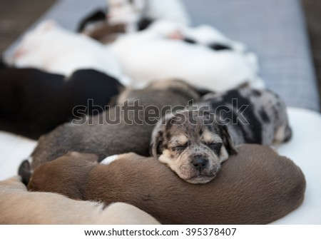 Small Mixed Breed Puppy Sleeping in Top of His Sibling in Dog Pile - stock photo