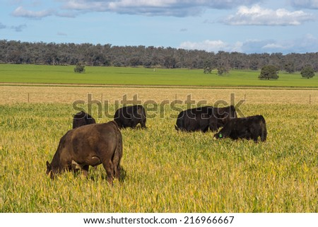small mob of cattle graze in a lush pasture - stock photo