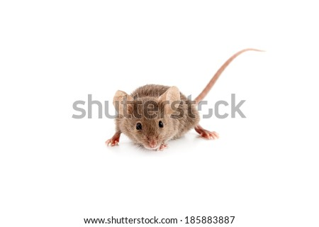 Small mouse isolated on a white background - stock photo