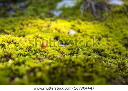 small mushroom in forest moss, closeup - stock photo