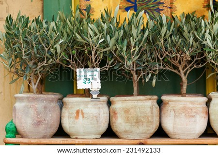 Small olive trees in pots, bonsai plants for sale in Provence, France - stock photo