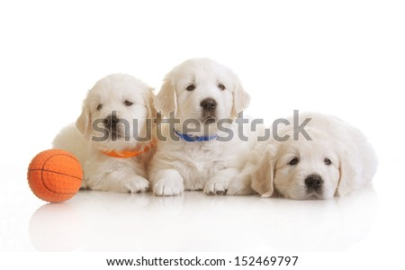 small one-month cute golden retriever puppy,  on white background  - stock photo