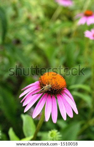 Small Painted lady Butterfly on Purple Coneflower - stock photo