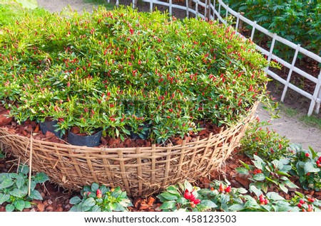small paprika red hot chili pepper plants on basket in a farm garden in Thailand - stock photo