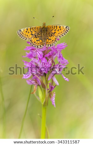 Small pearl-bordered fritillary, Boloria selene with spread wings resting on orchid - stock photo