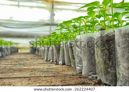 small pepper plants in a greenhouse for transplanting - stock photo