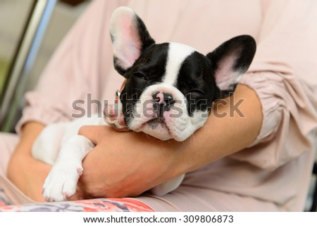 small pet a French Bulldog puppy sleeping on human hands - stock photo