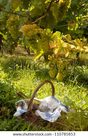 Small picnic basket in a vineyard in Alsace france under grapes used for the famous pinot blanc wine - stock photo