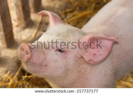 small pig in farm - stock photo