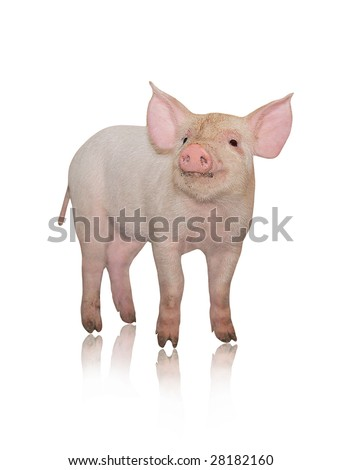 Small pig who is represented on a white background - stock photo
