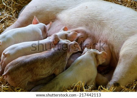 small pigs blowing - stock photo
