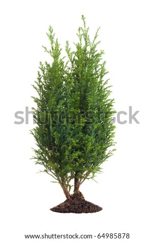 Small pine tree isolated on white - stock photo