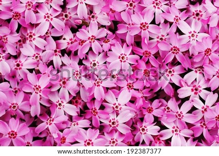 Small pink and red flowers with five petals on each are gathered together. - stock photo