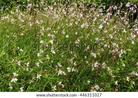 Small pink flowers Gaura lindheimeri 'Sparkle White' in a garden. - stock photo