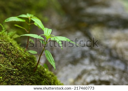 Small plant on moss-covered rock at a small stream in the cloud forest close to Rio Verde in Central Ecuador (Very Shallow Depth of Field, Focus onto the two smallest leaves on the top of the plant) - stock photo