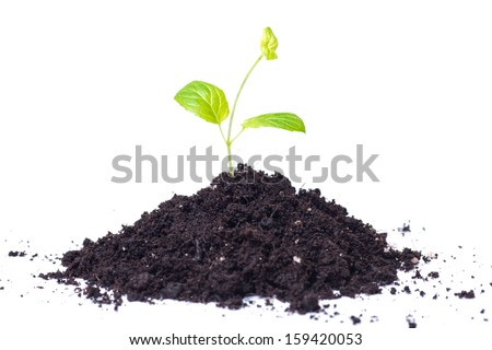 Small plant seedling isolated on white background. - stock photo