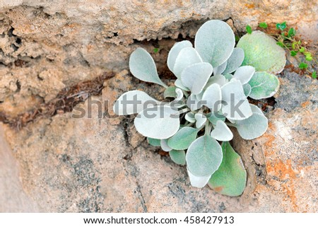 Small plants with silver leaves on the stone - stock photo