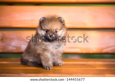 Small Pomeranian puppy sitting on a bench - stock photo
