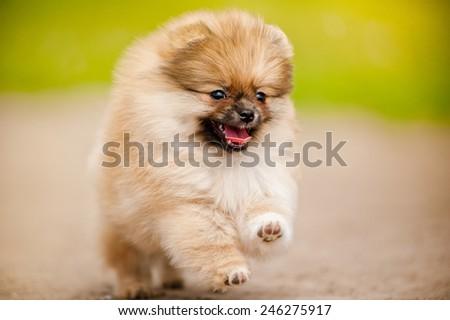 Small Pomeranian Spitz puppy running and looking at camera - stock photo