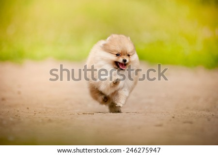 Small Pomeranian Spitz puppy running in summer - stock photo