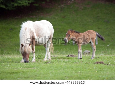 small pony and his mother grazing - stock photo