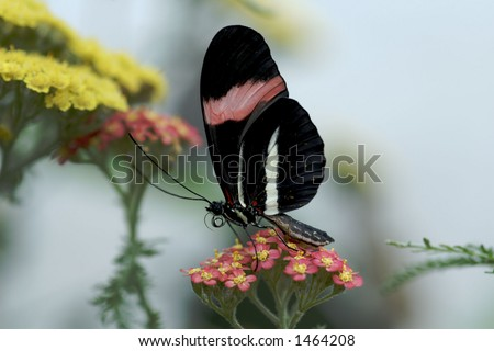 small Postman Butterfly - stock photo