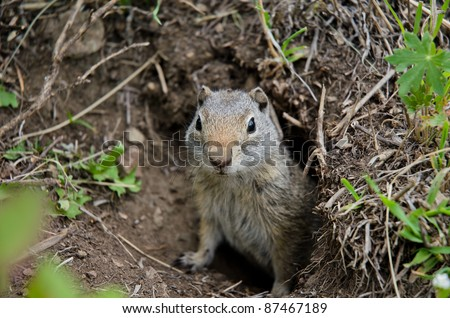Small prairie dog peeks his head out to take a look around - stock photo