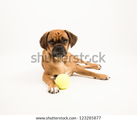 Small Puggle Dog with Yellow Tennis Ball on White Background - stock photo