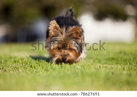Small puppy sniffing at the grass - stock photo