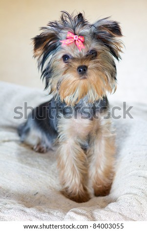 Small puppy Yorkshire Terrier breed - stock photo