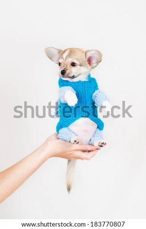 Small purebred puppy on  white background. Pet in a female hand in the studio. - stock photo
