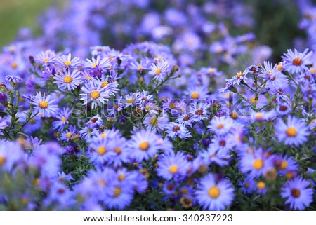 small purple asters wildflowers background, deep of field - stock photo