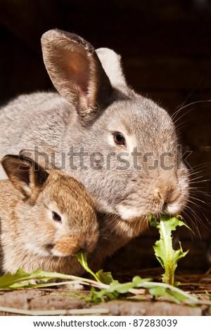 small rabbit with mum - stock photo